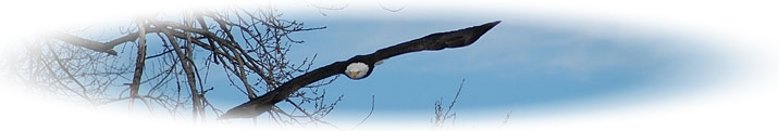Header; Bald Eagle diving