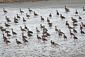 White-fronted Geese on frozen farm pond